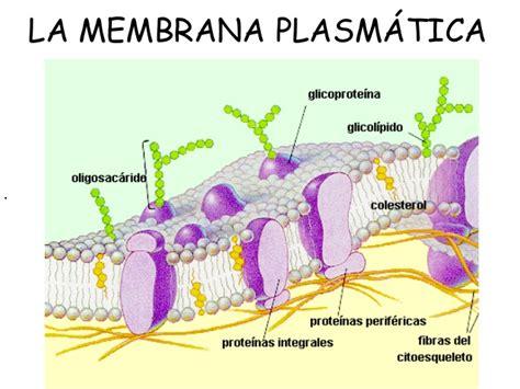 partes de la membrana celular 1 membrana plasm 225 tica viejo