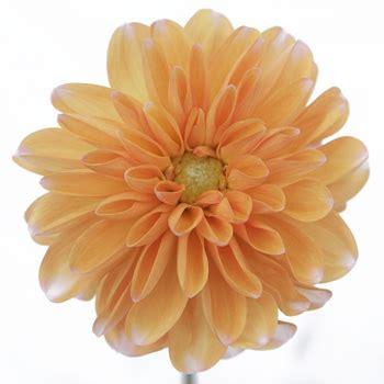 colorful flowers picture orange flowers in bloom light dahlia flower pale orange