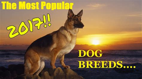 most popular breeds 2017 most popular breeds 2017