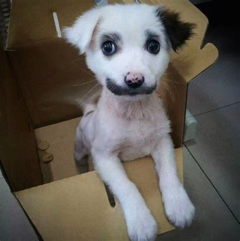 puppy with mustache puppy with mustache www imgkid the image kid has it