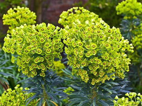 garden foliage plants how to grow euphorbias saga