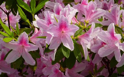 azalea bush colors mlewallpapers pink azalea bush