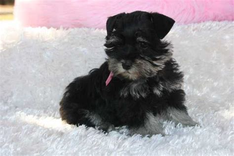 teacup puppies for sale in oklahoma miniature schnauzer puppies for sale akc miniature schnauzer puppies breeds picture