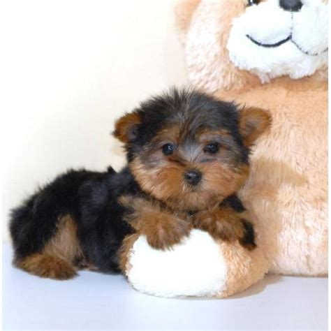 free puppies for adoption puppies free for adoption go search for tips tricks cheats search at
