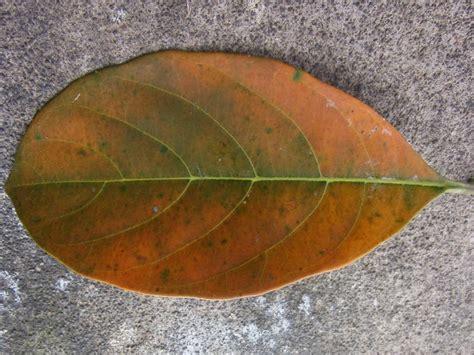 diy menghilangkan bekas jerawat  scrub daun nangka