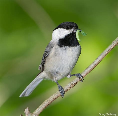 chickadees show why birds need native trees the national
