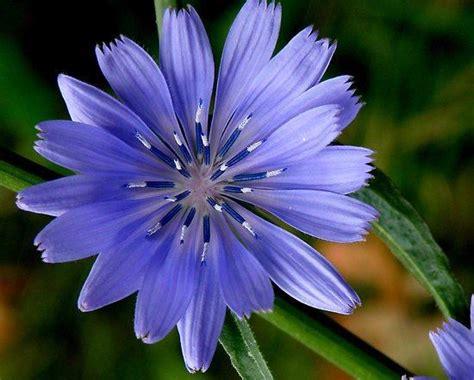 fiore di bach chicory fiori di bach chicory fiore della possessivit 224