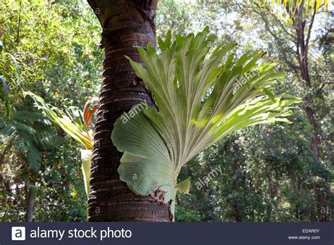 common staghorn fern elkhorn fern platycerium bifurcate