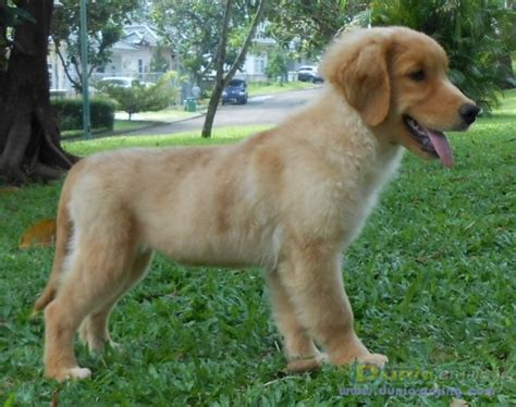 golden retriever indonesia dunia anjing jual anjing golden retriever golden retriever indonesia chion