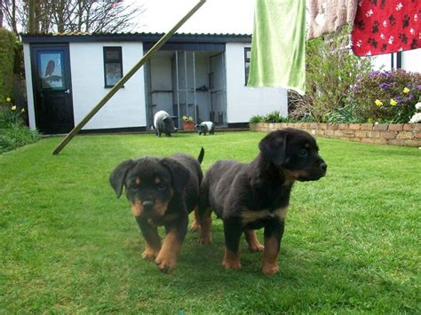 selling rottweiler puppies excellent rottweiler puppies animals beautiful rottweiler pups for adoption