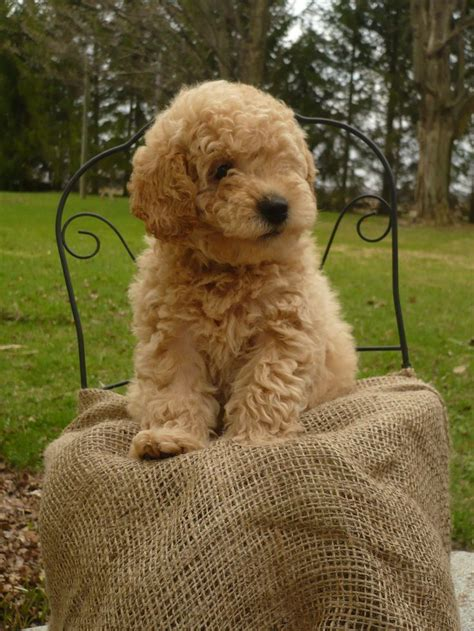 25 Best Ideas About Miniature Labradoodle For Sale On