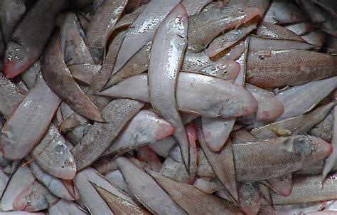 Keranjang Panen Ikan nelayan pangandaran panen ikan sebelah