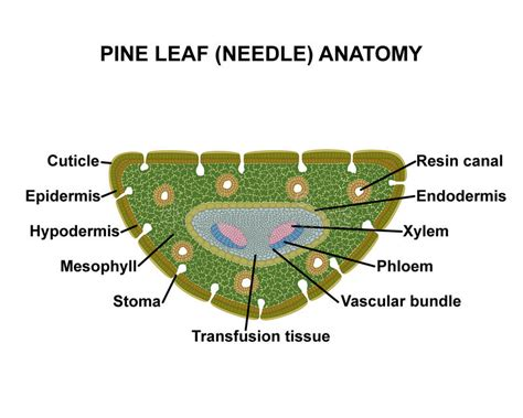 pinus leaf cross section pine leaf needle anatomy stock illustration