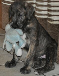 wolfhound puppy price of wolfhound on wolfhound puppies wolfhounds and