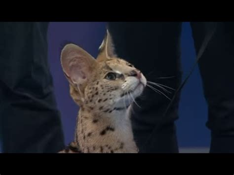 through golden eyes: serval #cats a new attraction for