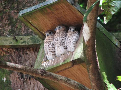 Mad Kestrel mauritius kestrels show term legacy of made