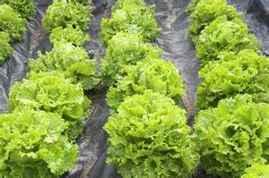 Light Main Dishes - how to grow lettuce harvest to table