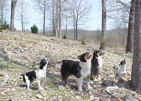 squirrel puppies for sale mountain feist puppies for sale squirrel central