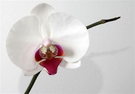 orchidea fiore cura phalaenopsis cura orchidee come curare la phalaenopsis