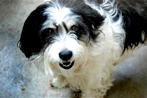 Black White Mix black and white poodle terrier mix photo happy heaven