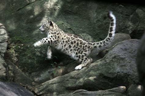 Barnes And Noble Facts Bronx Zoo Snow Leopard Cub Ny Times 171 Why Evolution Is True