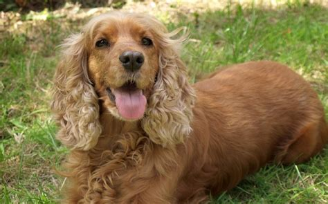 free puppies ta 9 ways to meet perfectly with the care of the cocker spaniel puppies megamascotas