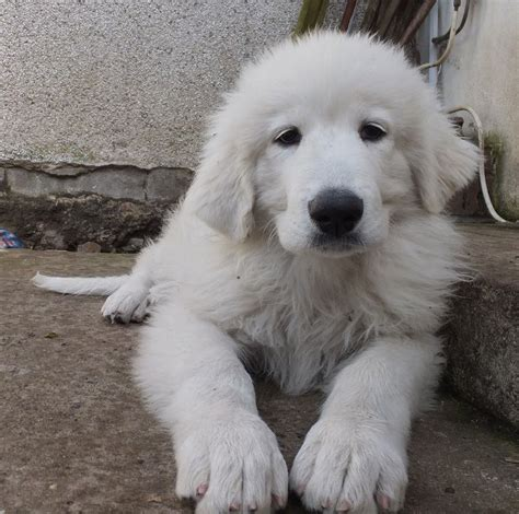 puppies now pyrenean mountain breeds picture