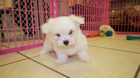 teacup maltese puppies for sale in ga lovable tcup maltese puppies for sale in atlanta ga at puppies for sale local breeders