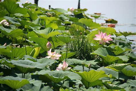 fiori acquatici nomi catalogo piante perenni e graminacee vivaio con vendita