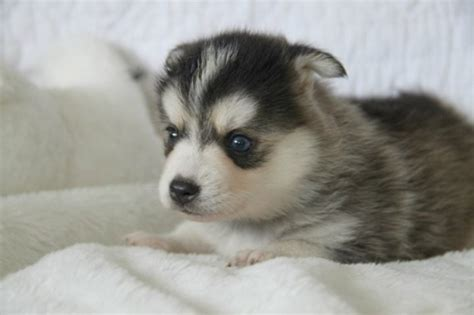 oahu puppies adorable pomsky puppies for sale oahu for sale oahu pets dogs