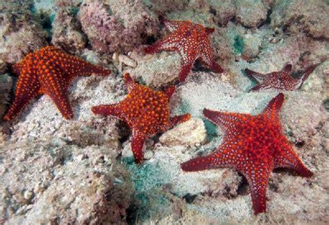 Bintang Laut Warna nama bintang laut dan 19 jenisnya yang aneh dan penuh warna nama nama hewan