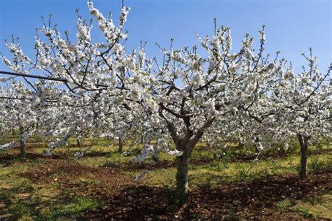 1 cherry tree groveland ma ciliegio potatura potatura come potare il ciliegio