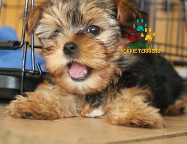 yorkie puppies for sale inland empire healthy yorkie puppies for sale yorkie breeder in california akc ckc organic grooming