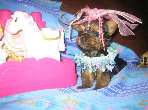 yorkie puppies for sale in broward county yorkies puppies for sale for sale adoption from ft lauderdale florida broward adpost