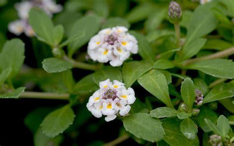teppich verbene teppich verbene pflanze lippia nodiflora verbene