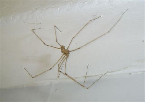 are house spiders dangerous image gallery non poisonous spiders