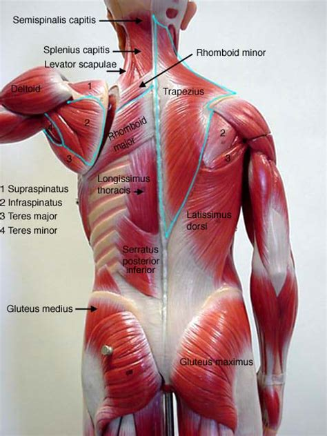 back muscles diagram model