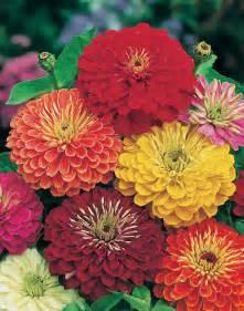 zinnia flower zinnia is lasting cut flower gardening