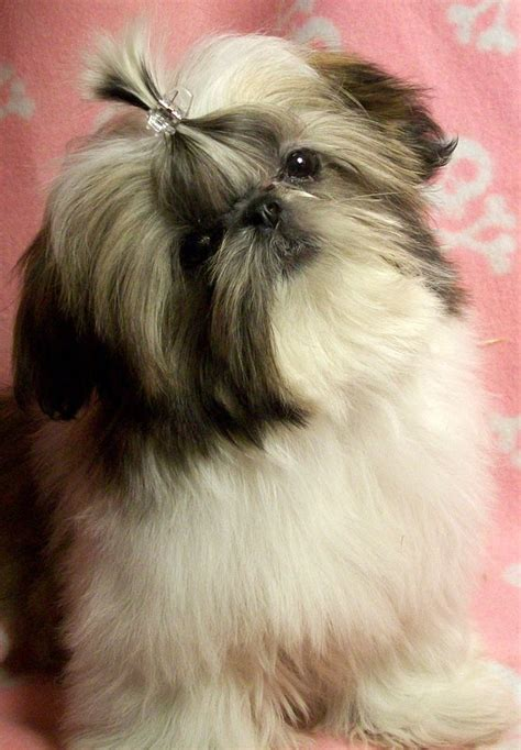 shih tzu puppies for sale in albuquerque home www laughinglionslittleshihtzu