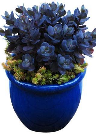 sunsparkler blue pearl sedum perennials   eden