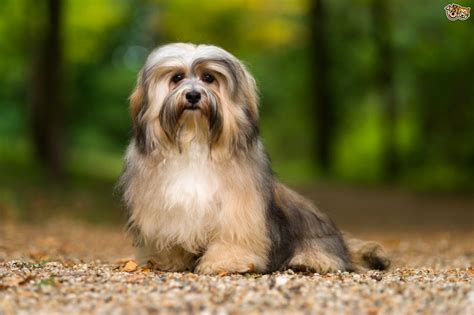 traits of havanese dogs havanese breed information buying advice photos and facts pets4homes