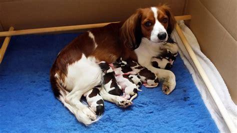 kooikerhondje puppies kooikerhondje puppies for sale shrewsbury shropshire pets4homes