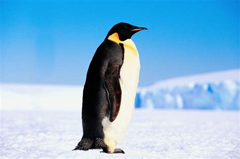 Pinguin Top penguin desktop wallpapers wallpapers high quality free