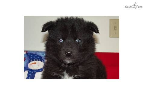 black wolf puppies for sale black wolf hybrid puppies for sale