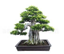 bonzi tree top unique bonsai trees gallery top unique bonsai trees