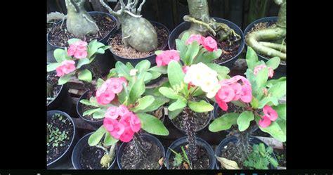 bibit buah tanaman hias tanaman hias euphorbia bisa