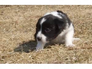 border collie puppies for sale in iowa border collie puppies in iowa
