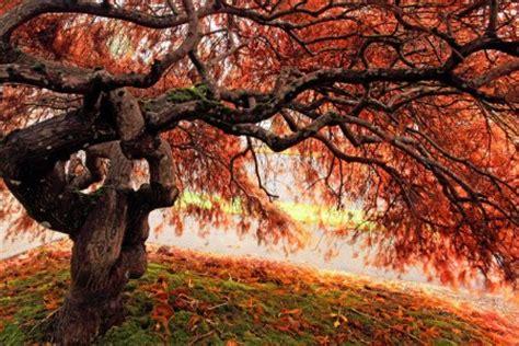tattoo japanese maple tree pamuqa japanese maple tree types