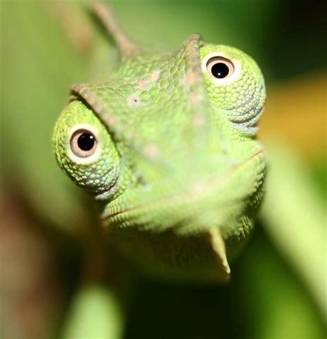 imagenes ojos de reptiles ojos de camaleon