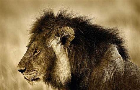 lion print art in the wild telegraph